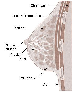 breast anotomy